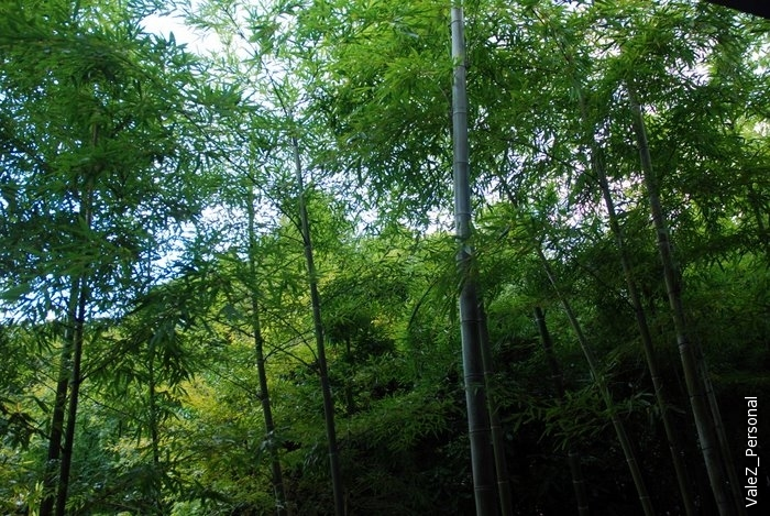 Тот же молодой бамбук - верхушки