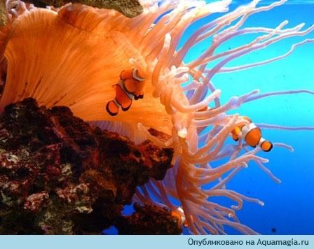 Рыбы клоуны на фоне актинии. рыбки. aqua-room.enjjoy.ru. или. strong.
