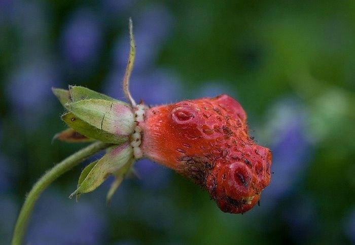 Драконья ягода