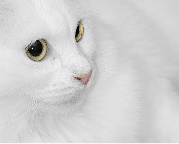 Мне приснилось, что я обалденная белая кошка.