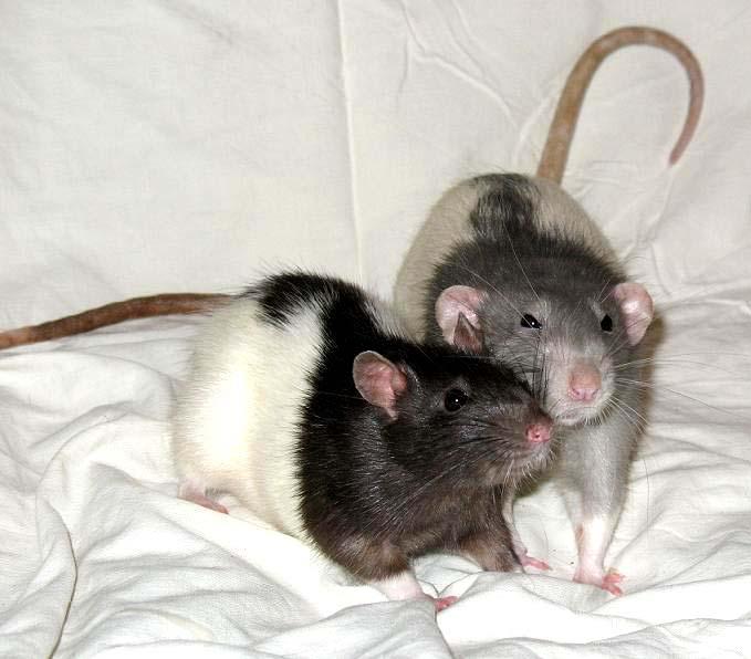 нравится готовить пятнистая крыса фото несколько кругов комнате
