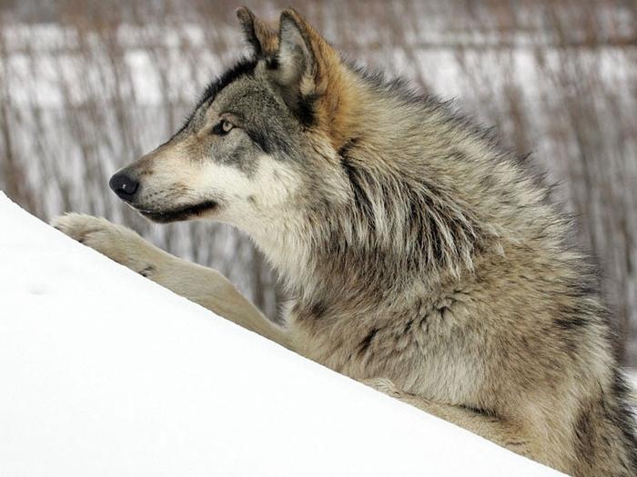 Отрава для волка 54