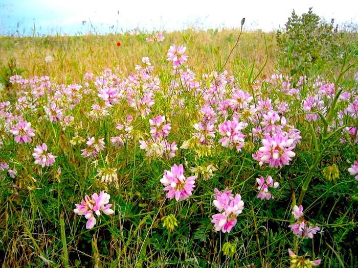цветы луговые и полевые фото