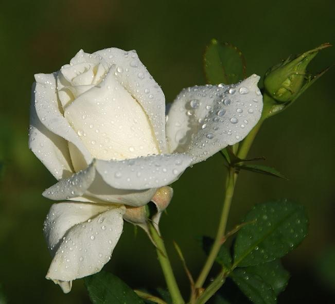 Все знают, что белая роза символизирует невинность, красная - страсть, а...