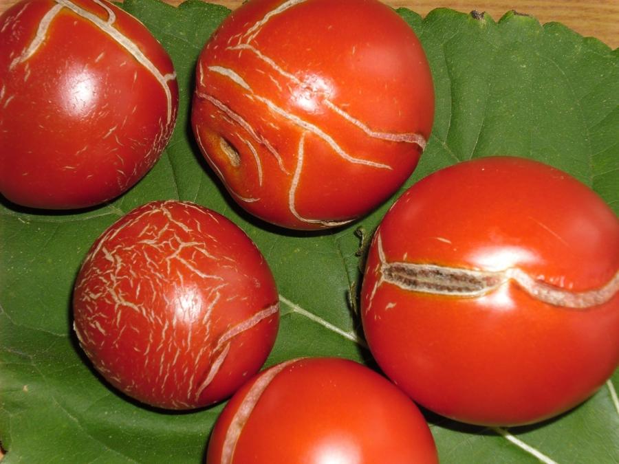 Болезни порникових помидоров