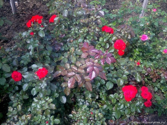 розарий в медведково 10 август 2013 (135) (700x525, 444Kb)