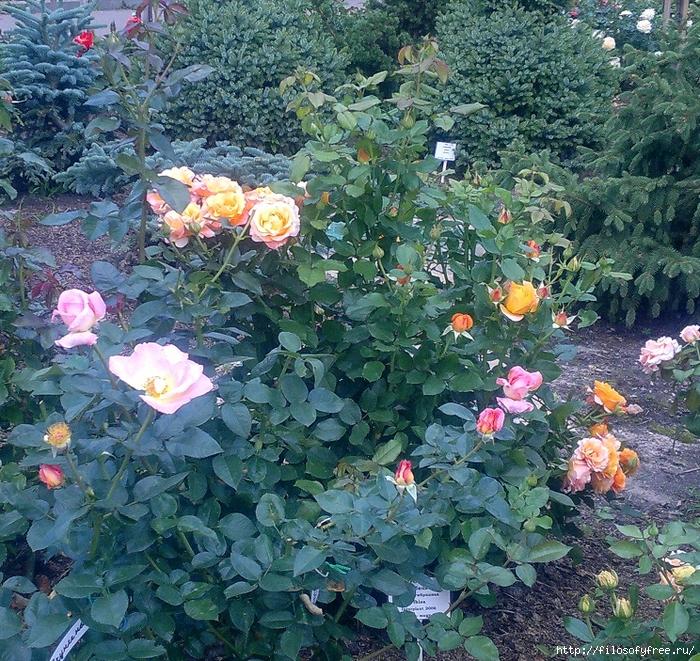 розарий в медведково 10 август 2013 (183) (700x661, 562Kb)