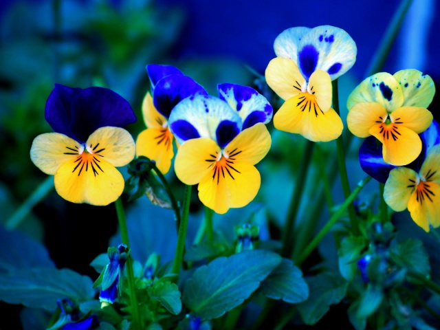 Nature_Flowers_Pansy_021234_29 (1) (640x480, 97Kb)