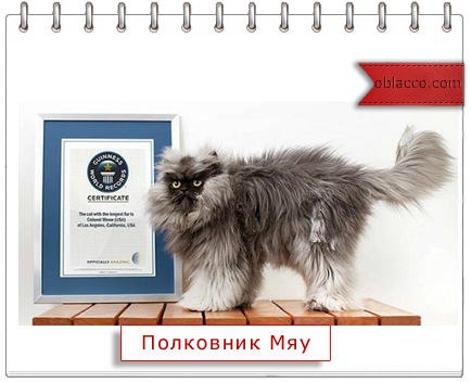 Кот Полковник Мяу внесен в Книгу рекордов Гиннесса/3518263__2_ (434x352, 174Kb)
