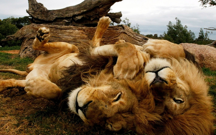 Animals_Beasts_Playing_the_Lions_025247_ (700x437, 338Kb)