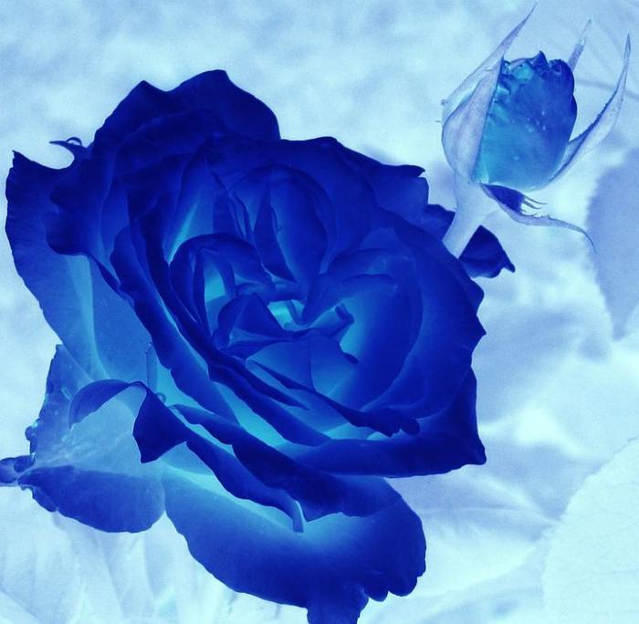 Синяя роза стих