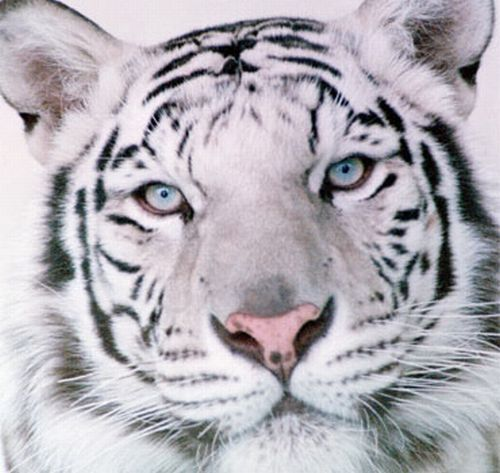 white_tiger_01-web (500x473, 45Kb)