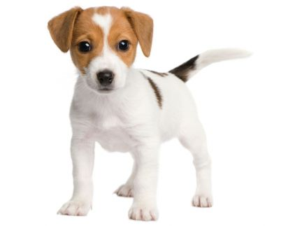 chiot_jack_russell_432_323_filled (432x323, 9Kb)