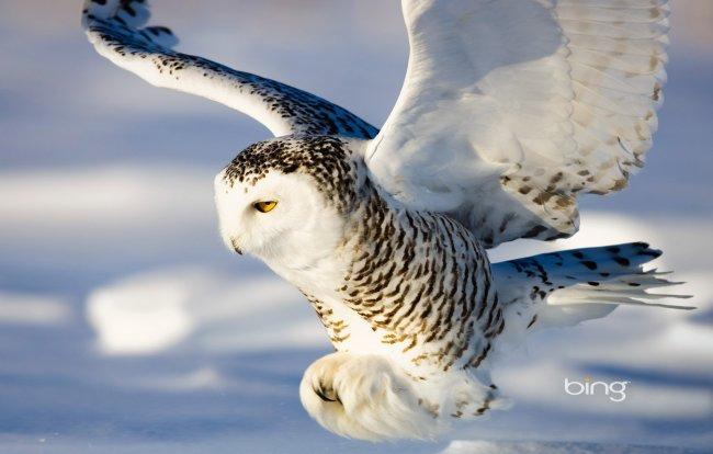 белая сова скачать