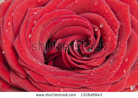 stock-photo-red-rose-flower-closeup-with-waterdrops-131848943 (450x321, 152Kb)
