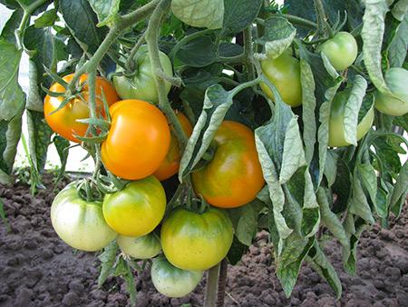 томаты хурма фото отзывы