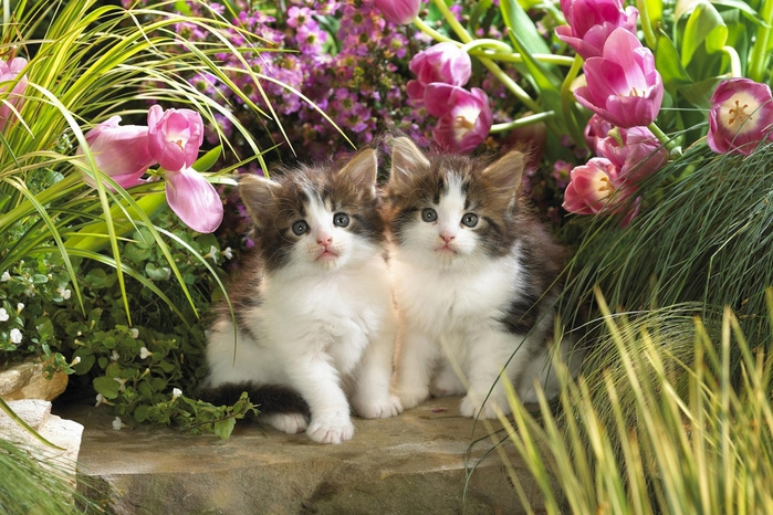 384173__kittens-among-flowers_p (700x466, 315Kb)