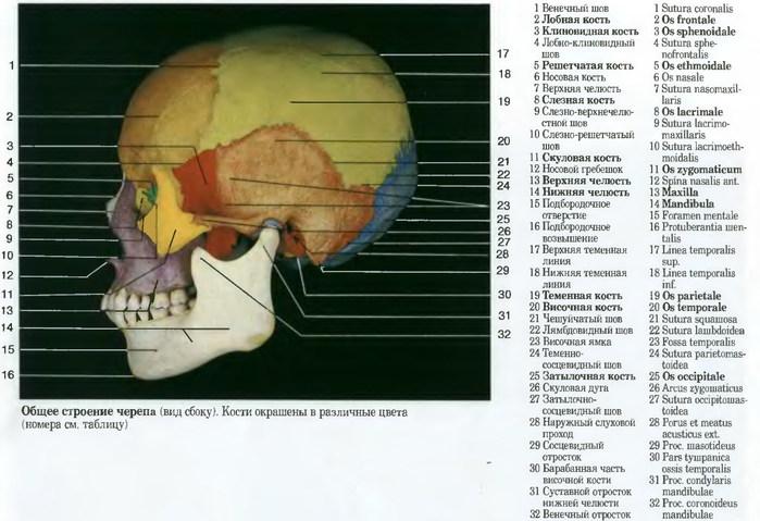 Кости черепа картинки с подписями по латыни
