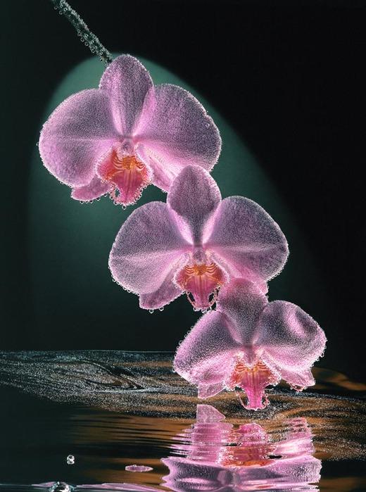 Красивые орхидеи картинки анимации