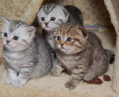 Шотландские котята (Scottish fold and Scottish straight) Животные, птицы...