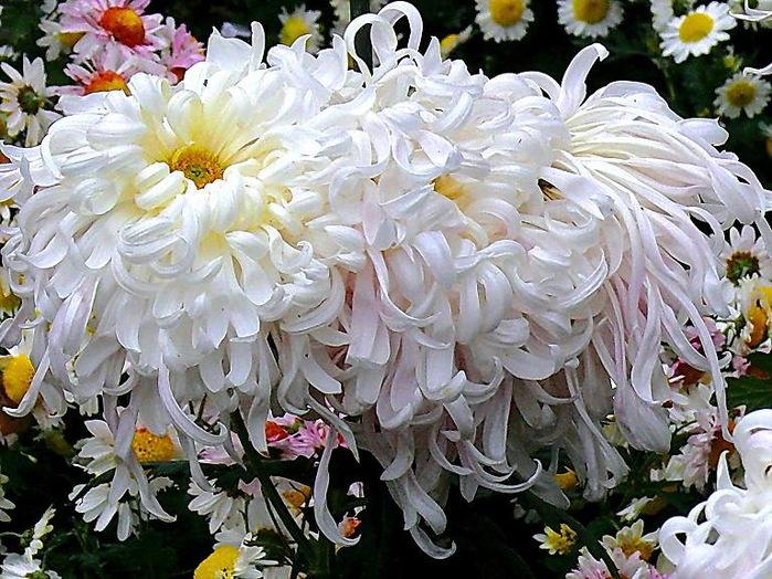 день кучерявая хризантема фото для