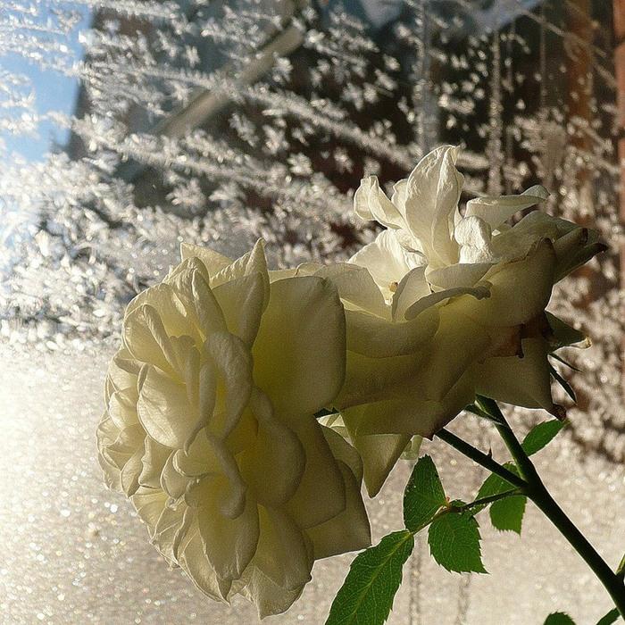 Картинка белая роза в снегу