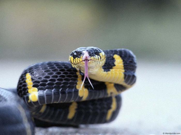 гладыш змея фото