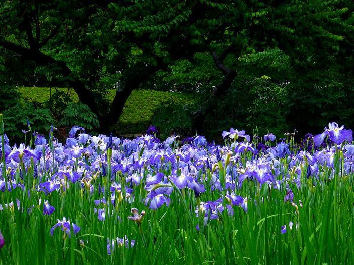 В Японии любуются не только цветением сакуры, но и цветением ирисов.