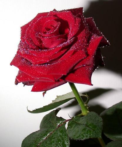Я тоже такие розы люблю, стоят они долго (если с любовью подарены, цветы...