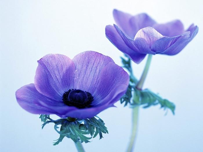 Анемоны - Цветы Обои и Фото.
