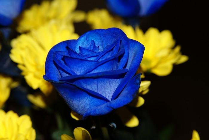 Ссылка на Синие розы для отправки друзьям по ICQ и MSN.