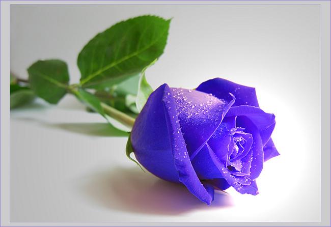 Далее несколько фото голубых и синих роз.
