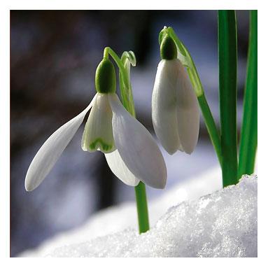 http://img0.liveinternet.ru/images/attach/c/1//55/638/55638811_snowdrops1232947393.jpg