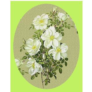 Схема Цветы шиповника - белые (300x300, 128Kb)