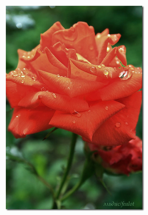 Розовый венец. Розою о розе (о сортах роз). Часть 1. (479x699, 82Kb)