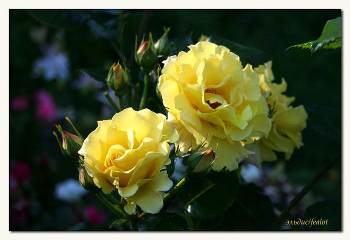 Розовый венец. Розою о розе (о сортах роз). Часть 1. (699x478, 89Kb)
