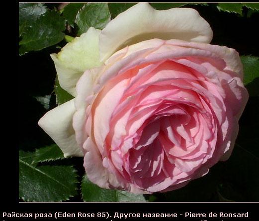 Розовый венец. Розою о розе (о сортах роз). Часть 1. (521x443, 77Kb)