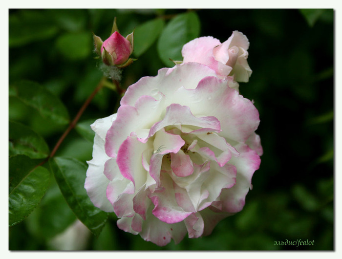 Розовый венец. Розою о розе (о сортах роз). Часть 1. (700x530, 85Kb)