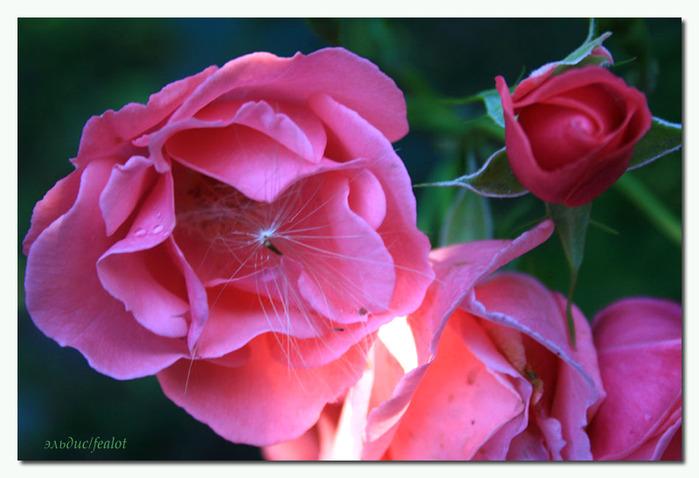 Розовый венец. Розою о розе (о сортах роз). Часть 1. (699x478, 98Kb)
