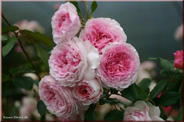 Розовый венец. Розою о розе (о сортах роз). Часть 2. (640x427, 40Kb)