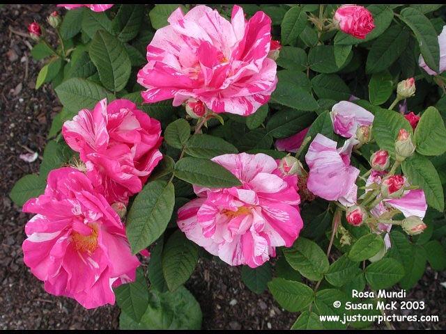 Розовый венец. Розою о розе (о сортах роз). Часть 2. (640x480, 84Kb)