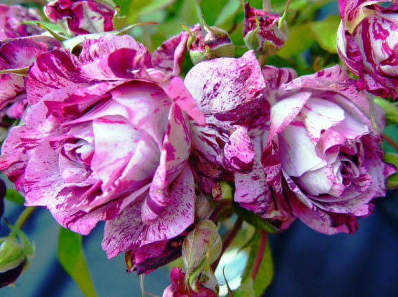 Розовый венец. Розою о розе (о сортах роз). Часть 2. (576x430, 116Kb)