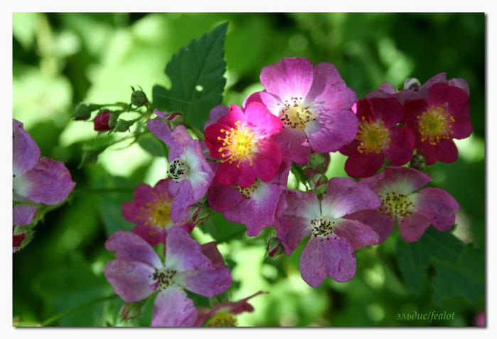 Розовый венец. Розою о розе (о сортах роз). Часть 2. (699x478, 107Kb)