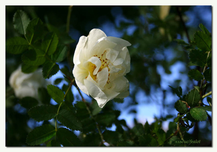 Розовый венец. Розою о розе (о сортах роз). Часть 2. (699x490, 92Kb)