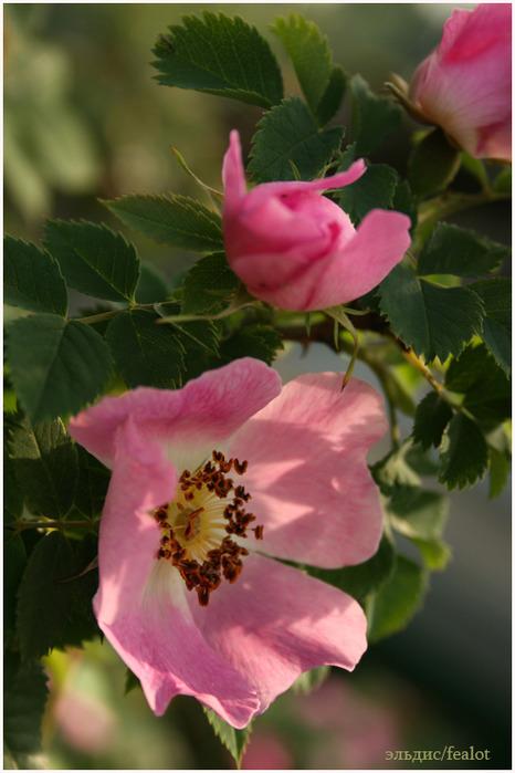 Розовый венец. Розою о розе (о сортах роз). Часть 2. (466x699, 94Kb)