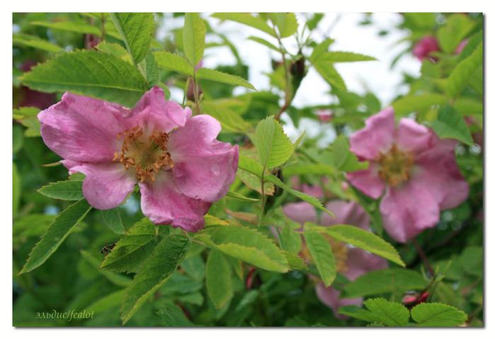 Розовый венец. Розою о розе (о сортах роз). Часть 2. (699x478, 109Kb)