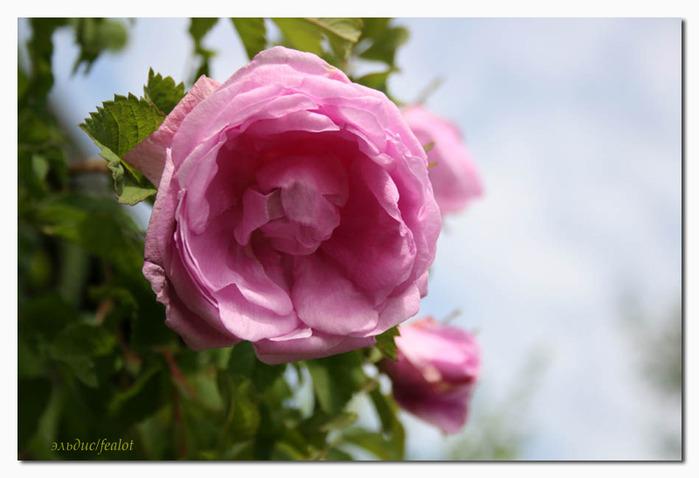Розовый венец. Розою о розе (о сортах роз). Часть 2. (699x478, 76Kb)