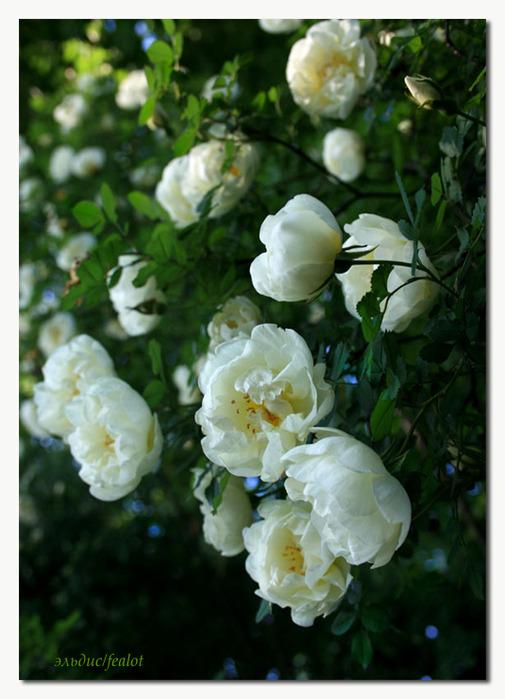 Розовый венец. Розою о розе (о сортах роз). Часть 2. (505x699, 107Kb)