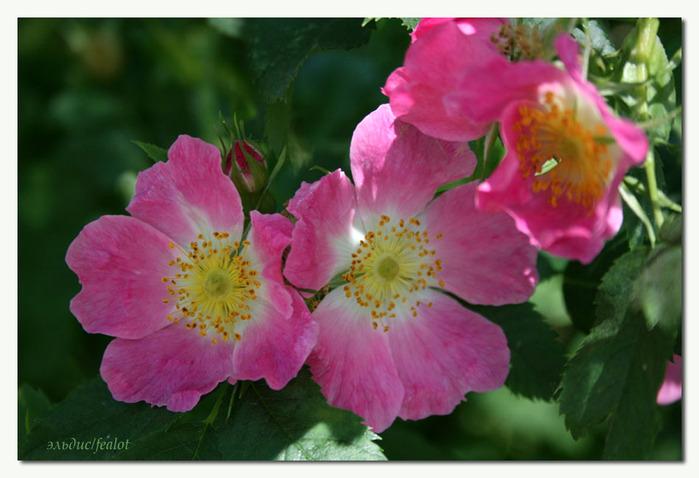 Розовый венец. Розою о розе (о сортах роз). Часть 2. (699x478, 101Kb)