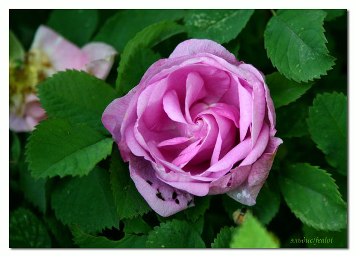 Розовый венец. Розою о розе (о сортах роз). Часть 2. (700x506, 105Kb)